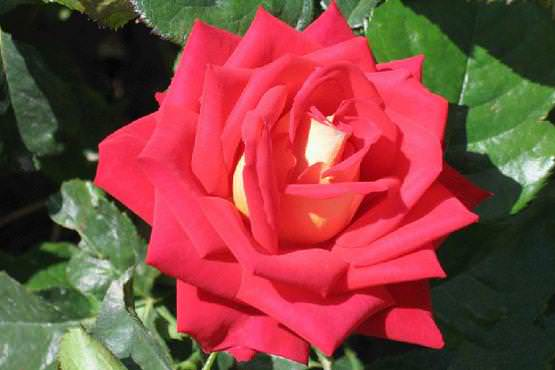 Благодаря мощным пряморослым побегам роза Нью-Джерси широко используется для срезки и флористики