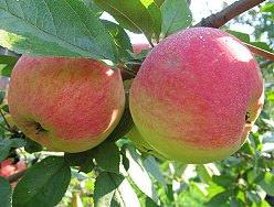 Яблоня «Медуница» обладает прекрасными характеристиками