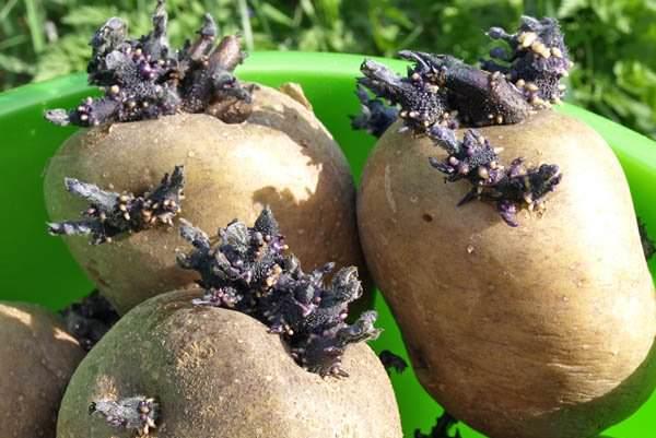 Лучше всего использовать для посадки пророщенные картофельные клубни сорта «Синеглазка»