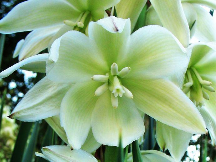 В комнатных условиях цветение юкки достаточно редкое