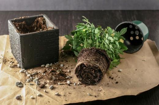 Только что приобретенное растение требуется обязательно пересадить