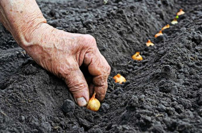 Чтобы правильно определить глубину заделки посадочного материала лука, следует к трем размерам луковицы прибавить полтора сантиметра