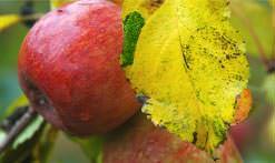 Сорт яблок «Румяна» получен свердловскими садоводами около сорока лет назад