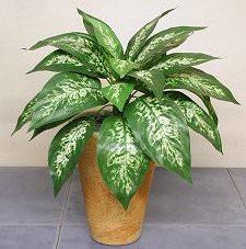Диффенбахия пятнистая представляет собой южноамериканское травянистое декоративное растение