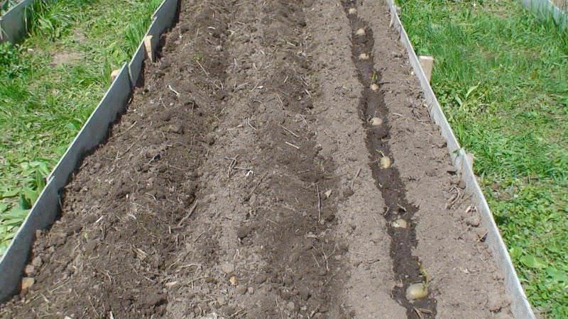 Для получения качественного урожая раннего картофеля необходимо обратить внимание не только на сорт, но и на особенности выращивания