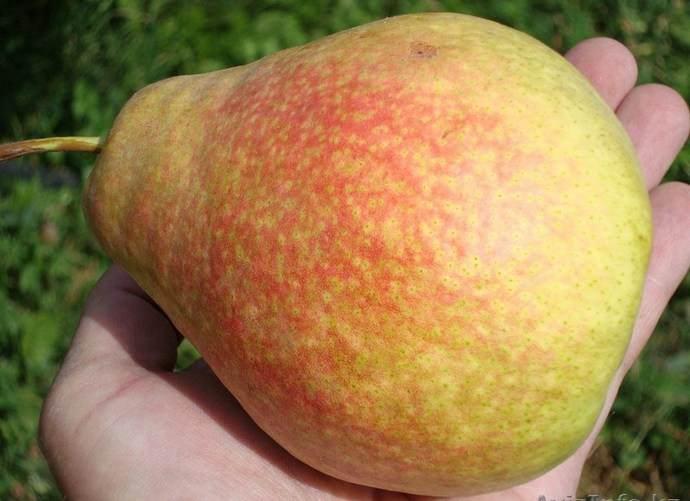 Максимальный срок хранения собранного урожая груши «Мраморная» не превышает двух месяцев