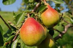 Летние сорта груш очень актуальны в большинстве регионов нашей страны