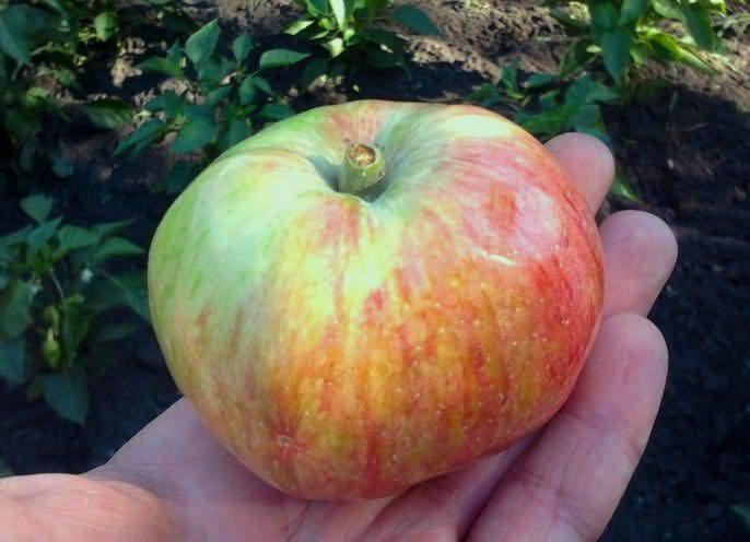 Яблоки сорта «Медуница» приводят в норму пищеварительную систему организма