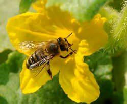 Самоопыляемые сорта огурцов больше подходят для выращивания в теплице