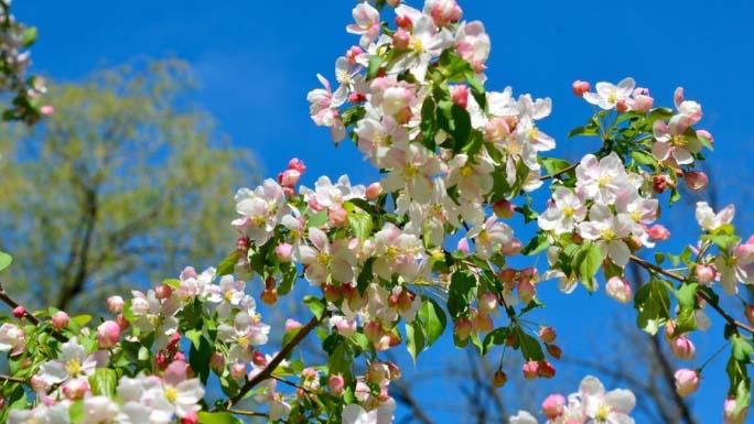 Яблоня «Медуница» созревает в летний период и относится к категории наиболее урожайных