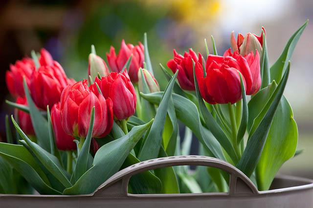 Наиболее популярна у цветоводов высадка простых ранних тюльпанов