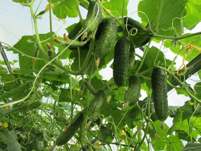 Созревшие плоды сорта «Нежинский-12» обладают хрустящей и плотной мякотью