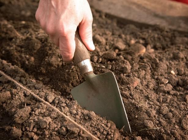 Непосредственно перед посевом предварительно подготовленных семян следует сделать бороздки глубиной на два сантиметра больше, чем при проведении посева в весенний период