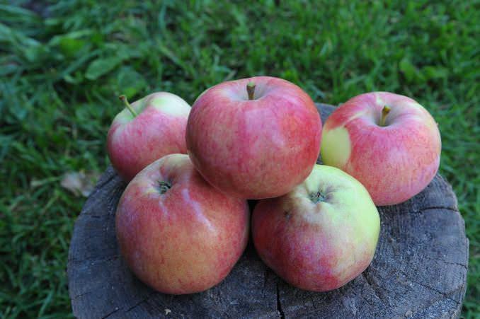 Основной сбор урожая яблок сорта «Мельба» приходится на вторую половину августа
