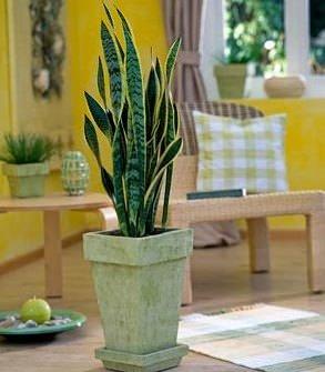 Сансевиерия достаточно часто выращивается в домашних условиях