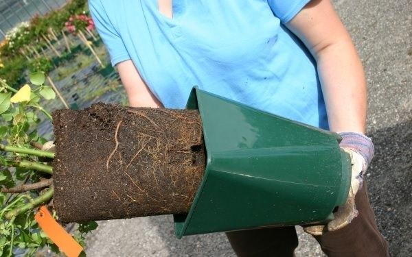 В качестве основного посадочного материала для осеннего высаживания могут быть использованы саженцы розы в контейнерах