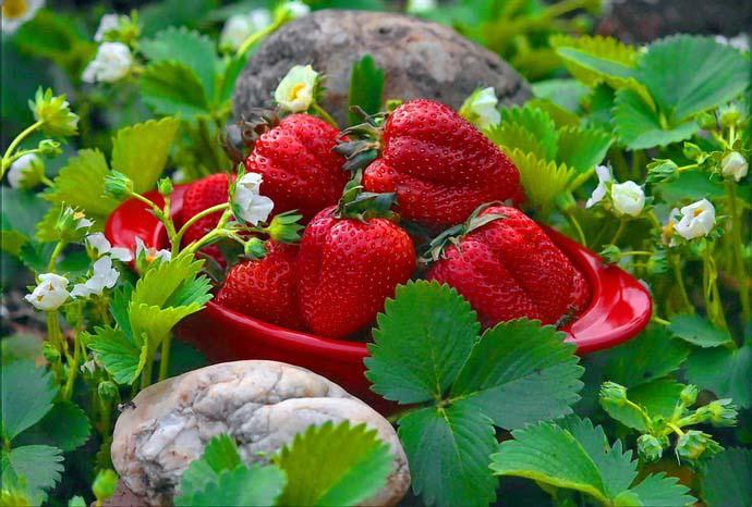 Урожайность, период плодоношения и цветения зависят от сортовых особенностей земляники
