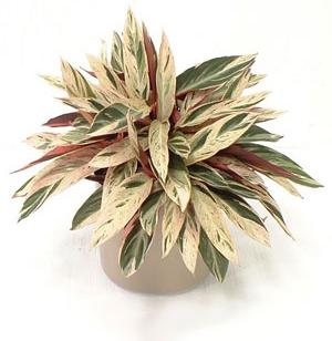 Строманта относится к семейству однодольных цветковых растений Марантовые