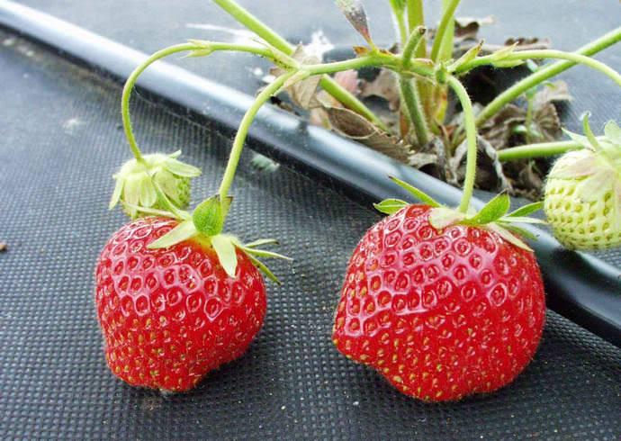 Из скороспелых земляник садовых стоит отметить очень вкусную французскую ягоду Дарселект