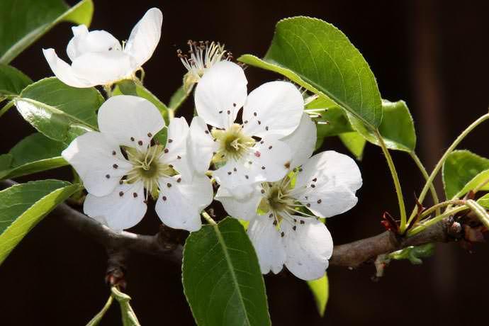 В первый год производится удаление цветков на груше «Москвичка», что улучшит показатели приживаемости растения