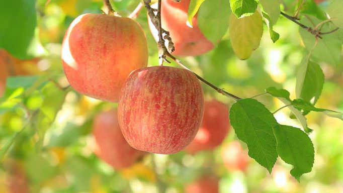 Яблоко – природный диетический продукт, который обладает рядом полезных свойств