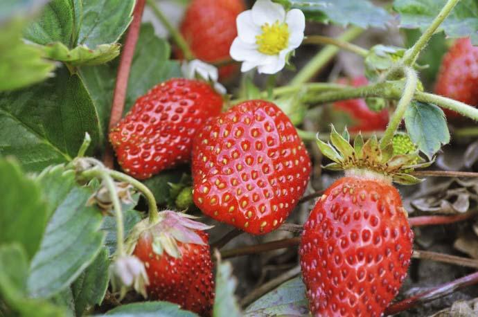 Активно выращивают в средней полосе России калифорнийскую землянику Альбион