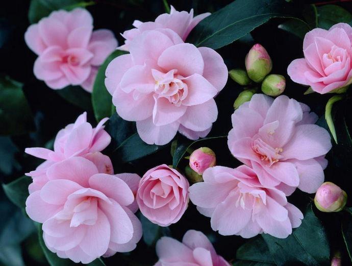 В комнатном цветоводстве чаще всего культивируется японская камелия