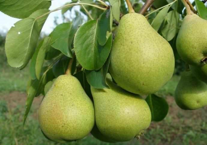 «Ильинка» характеризуется устойчивостью к вредителям и болезням