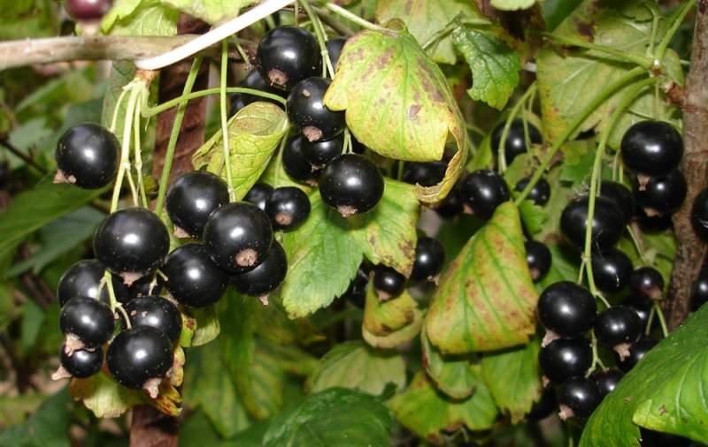 Сами ягодки очень просто собирать с куста, поскольку все они собраны наподобие гроздьев винограда