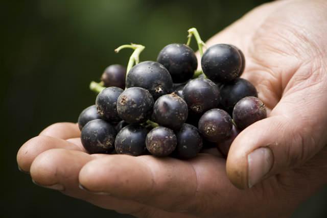 У ягод черной смородины тонкая шкурка, которая часто повреждается при сборке плодов. Поэтому требуется обеспечивать бережное хранение плодов в свежем виде