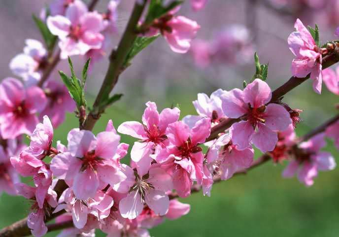 Цветение персиков наблюдается до появления листвы