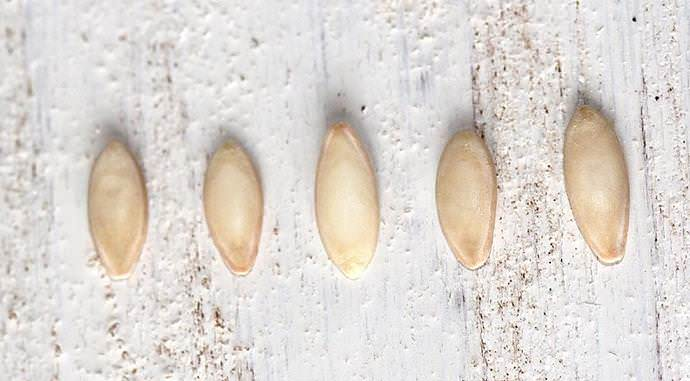 Покупные фирменные семена не нуждаются в проведении предпосевных мероприятий