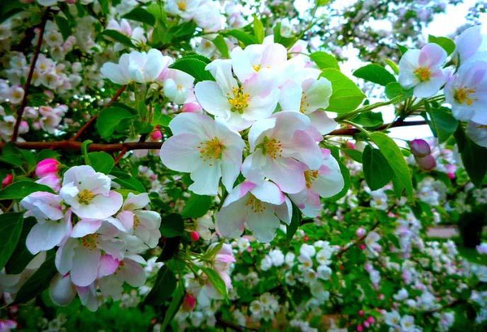 Цветки яблони «Боровинка» имеют средние размеры и собираются в зонтичный тип соцветий