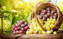 Столовые сорта винограда широко используются для употребления в свежем виде