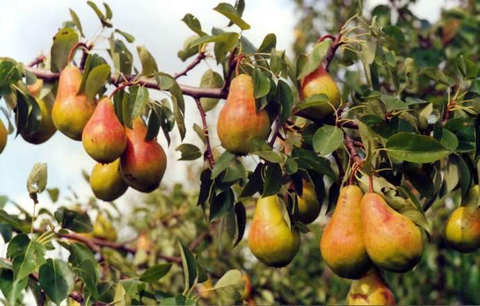 Сорт «Видная» обладает показателями стабильной и высокаой урожайности