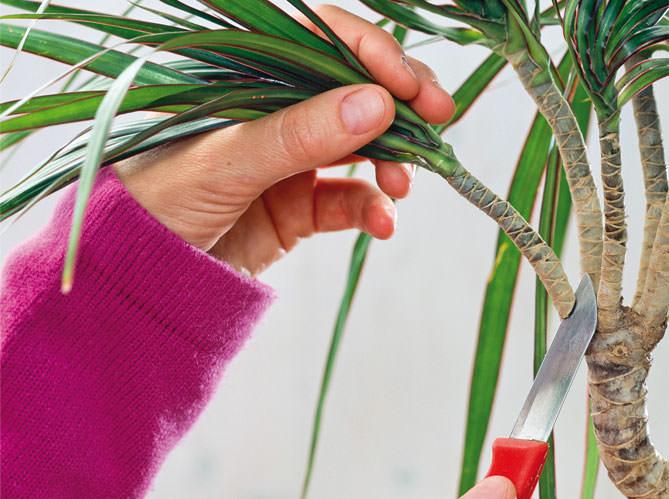 Драцена маргината очень легко размножается стеблевыми кусочками или верхушечными черенками