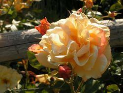 Осенью розовые кусты требуется не только правильно посадить, но и грамотно подобрать сорт
