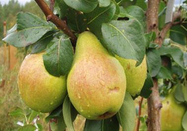 Груша «Москвичка» — это известный садоводам осенний сорт