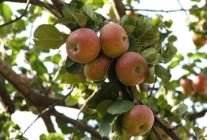 «Медуница» имеет средние по размерам яблоки