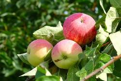 Яблоня «Мельба» является позднелетним сортом