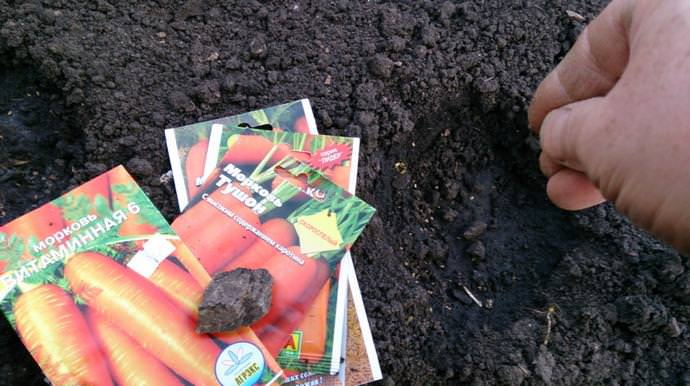 Проводить подзимний посев моркови не сложнее, чем выращивать эту популярную огородную культуру весенним высевом семян