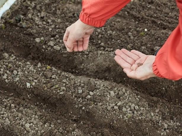 Высев под зиму укропа и щавеля, а также такой ценной зеленной культуры, как петрушка, дает очень хорошие результаты и позволяет получить не только раннюю, но и максимально качественную продукцию