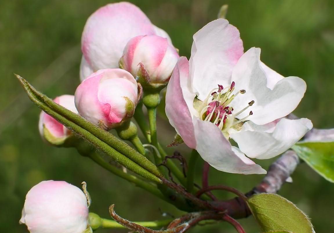 На стадию плодоношения груша «Мраморная» выходит не ранее, чем через 6-7 лет после осуществления окулировки в условиях питомника