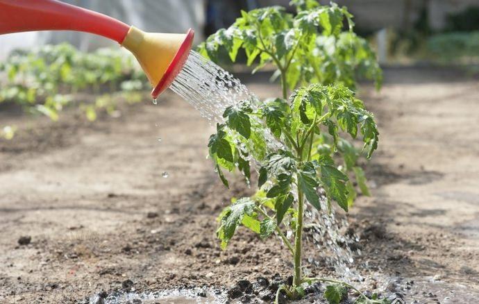 После высаживания томатной рассады в грунт растения необходимо очень обильно полить