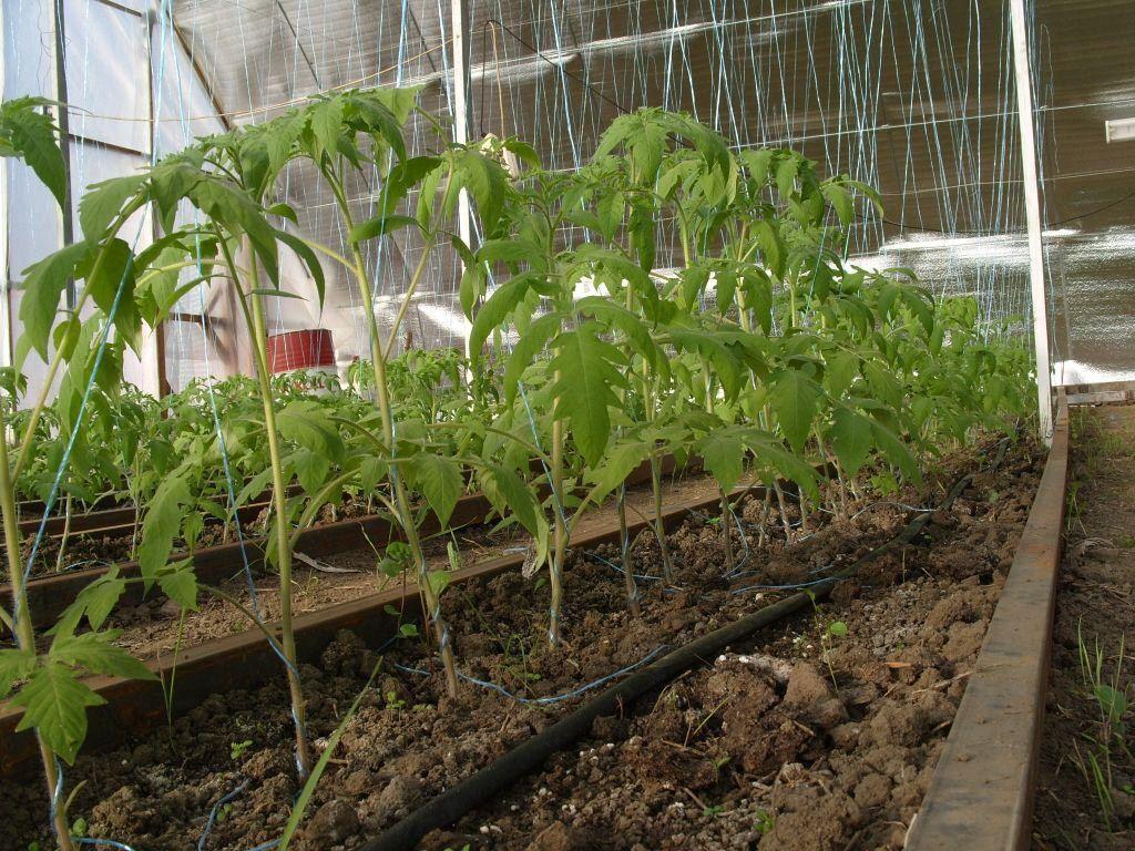 Выращивание и уход за помидорами в домашних условиях