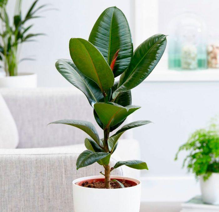 Полив фикуса: секреты красивого растения