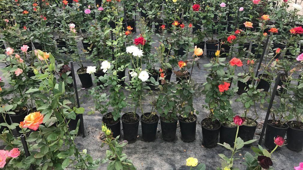 Саженцы роз крупных сортов: разновидности и особенности ухода
