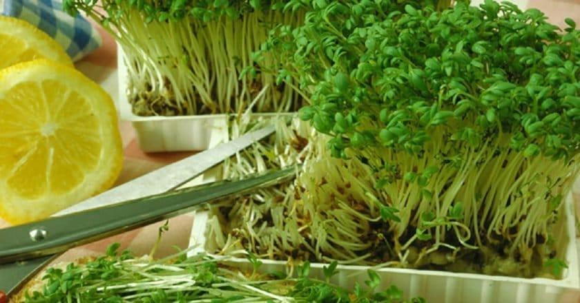 Микрозелень, виды, польза и как вырастить